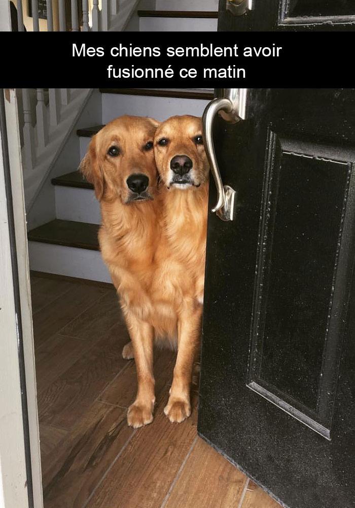 Mes chiens semble avoir fusionné ce matin