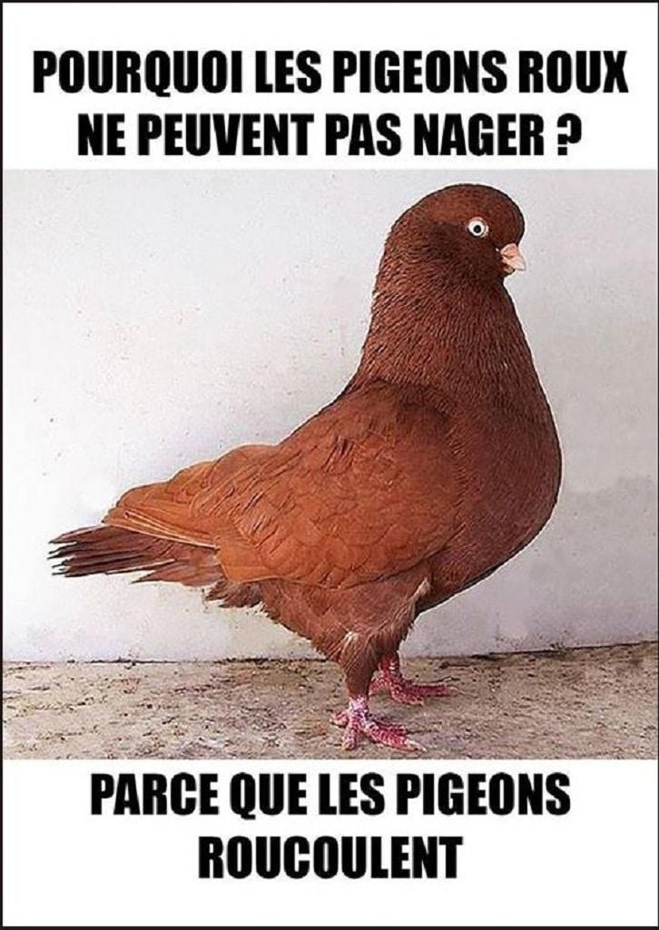 Pourquoi les pigeons roux ne peuvent pas nager
